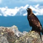 Беркут (Aquila chrysaetos)