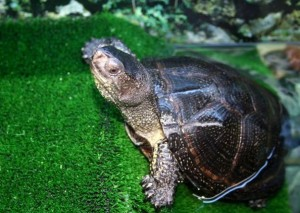Кавказская болотная черепаха (Emys orbicularis) предок динозавров