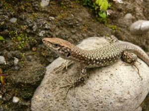 Кавказская скальная ящерица (Lacert saxicola)