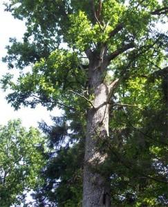 Кубанский дуб выглядит величаво