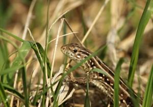 Луговая ящерица (Lacerta pratincola)