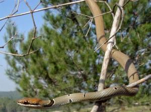 Полоз оливковый (Coluber najadum), как питон