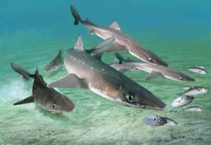 акула катран, черноморская акула