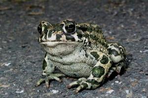 жаба зеленая, почти как серая