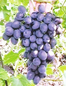 кубань в августе, виноградный месяц
