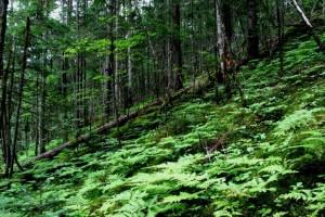 пихтовый лес и папоротник