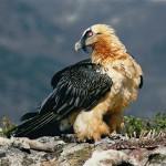 Птица бородач (Gypaetus bardafus)