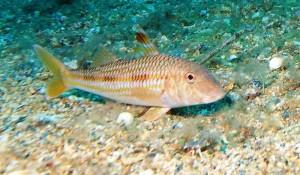 рыба барабуля она же султанка