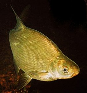 рыба лещ пресноводно-морская рыба