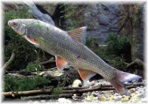 рыба подуст встречается везде