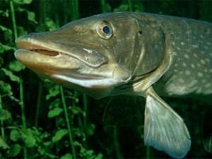 рыба щука речная акула