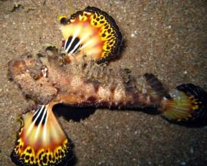 черноморский морской петух, веероносец