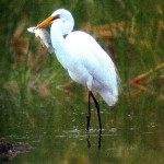 цапля белая большая (Egretta alba)