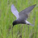 крачка черная (Childonias niger)