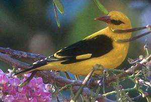 птица иволга (Oriolus oriolus)
