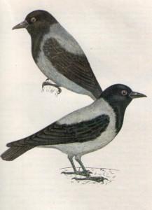 Птица ворона