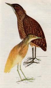 Птица выпь и птица желтая цапля