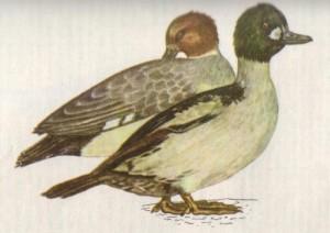 Птица гоголь