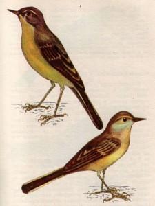 Птица желтая трясогузка
