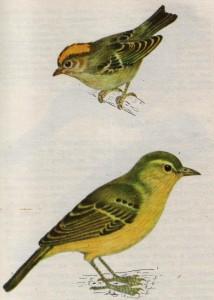 Желтоголовый королек и зеленая пересмешка