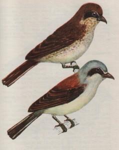 Птица жулан