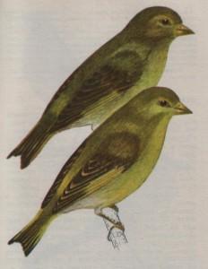 Птица зеленушка