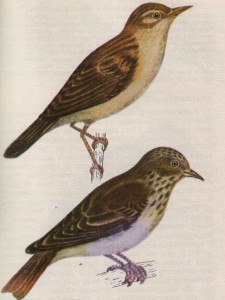 Птица камышевый барсучок и серая мухоловка