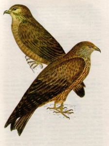 Птица канюк и черный коршун
