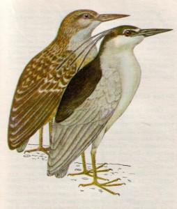 Птица кваква
