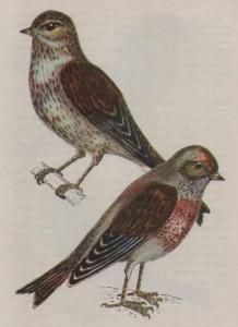 Птица коноплянка