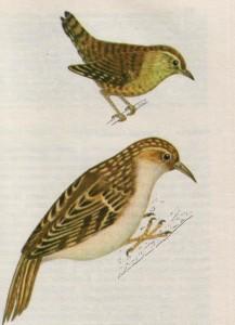 Птица крапивник и птица пищуха