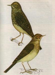 Птица лесной конек и птица полевой конек