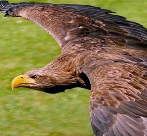 Животные красной книги Краснодарского края Хищная птица беркут