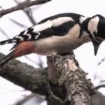 Птица дятел 1