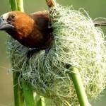 Птица ткачик в гнезде 1