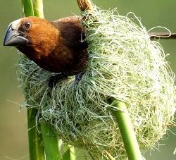 Птица ткачик в гнезде