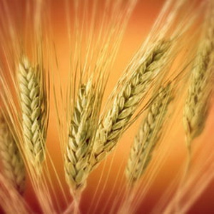 Зерновая пшеница